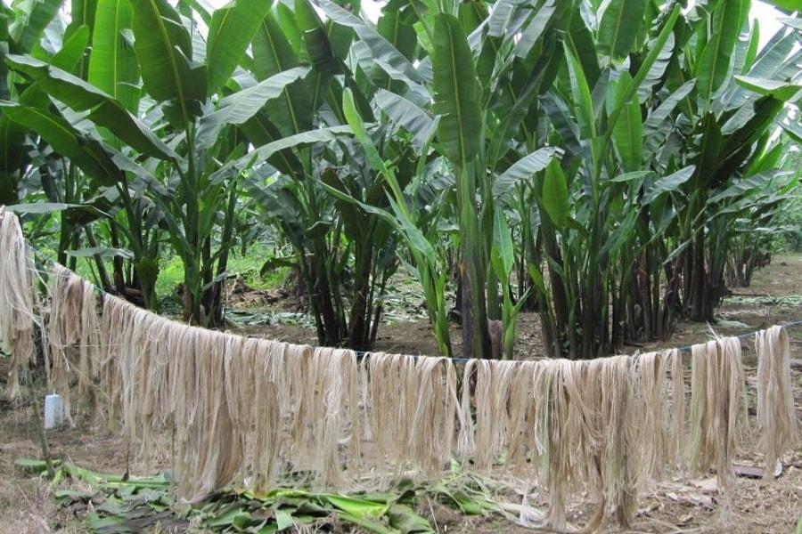 Bahan baku uang kertas dolar Amerika dari serat pohon pisang abaka